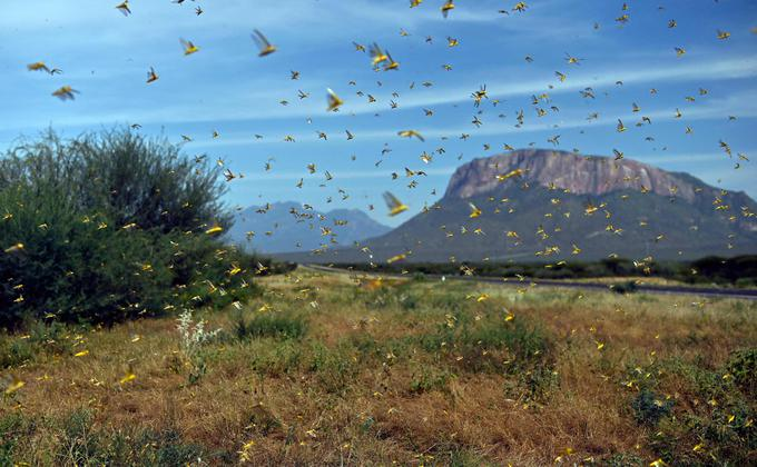中国国家林业和草原局已发布紧急通告,要求各相关部门做好蝗灾防控工作。图为2020年1月22日,肯尼亚首都内罗毕以北约300公里的桑布鲁县Archers Post定居点附近的莱拉塔村(Lerata)所出现的蝗灾景象。(图片来源:TONY KARUMBA/AFP via Getty Images)
