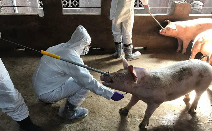 英国路透社表示,中国政府在处理武汉肺炎时的方法与去年非洲猪瘟的处理方式如出一辙,都在疫情爆发初期进行瞒报和撒谎,导致疫情迅速蔓延至全中国和全球多个国家。台湾金门市政府在为猪只做检测。(图片来源:中央社)