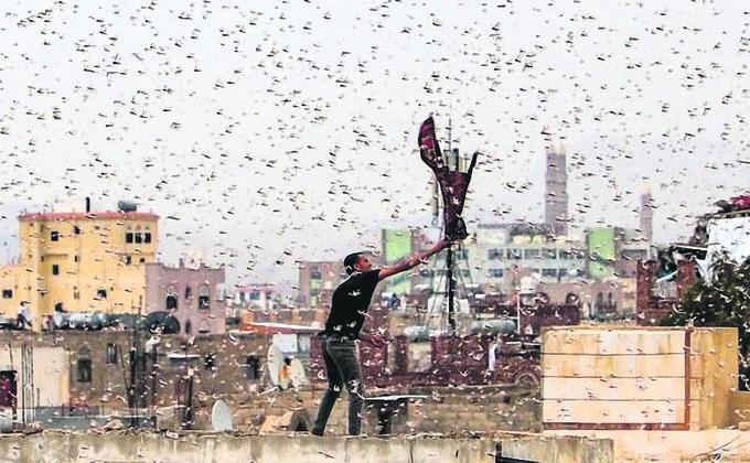 """每平方公里的蝗虫数量可达4,000万只,每天能飞行150公里,一天之内能吃掉3.5万人的粮食。不仅如此,此次的蝗虫甚至""""练就了新本领""""。(图片来源:Asobe Stock)"""