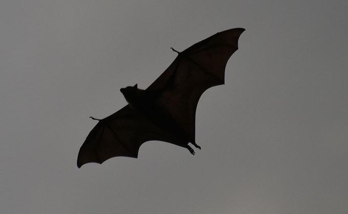 灰头蝙蝠是澳洲本土物种,Yarra Bend公园是其中墨尔本最大的聚居地。(图片来源:Sardaka/ Commons CC BY SA 4.0)