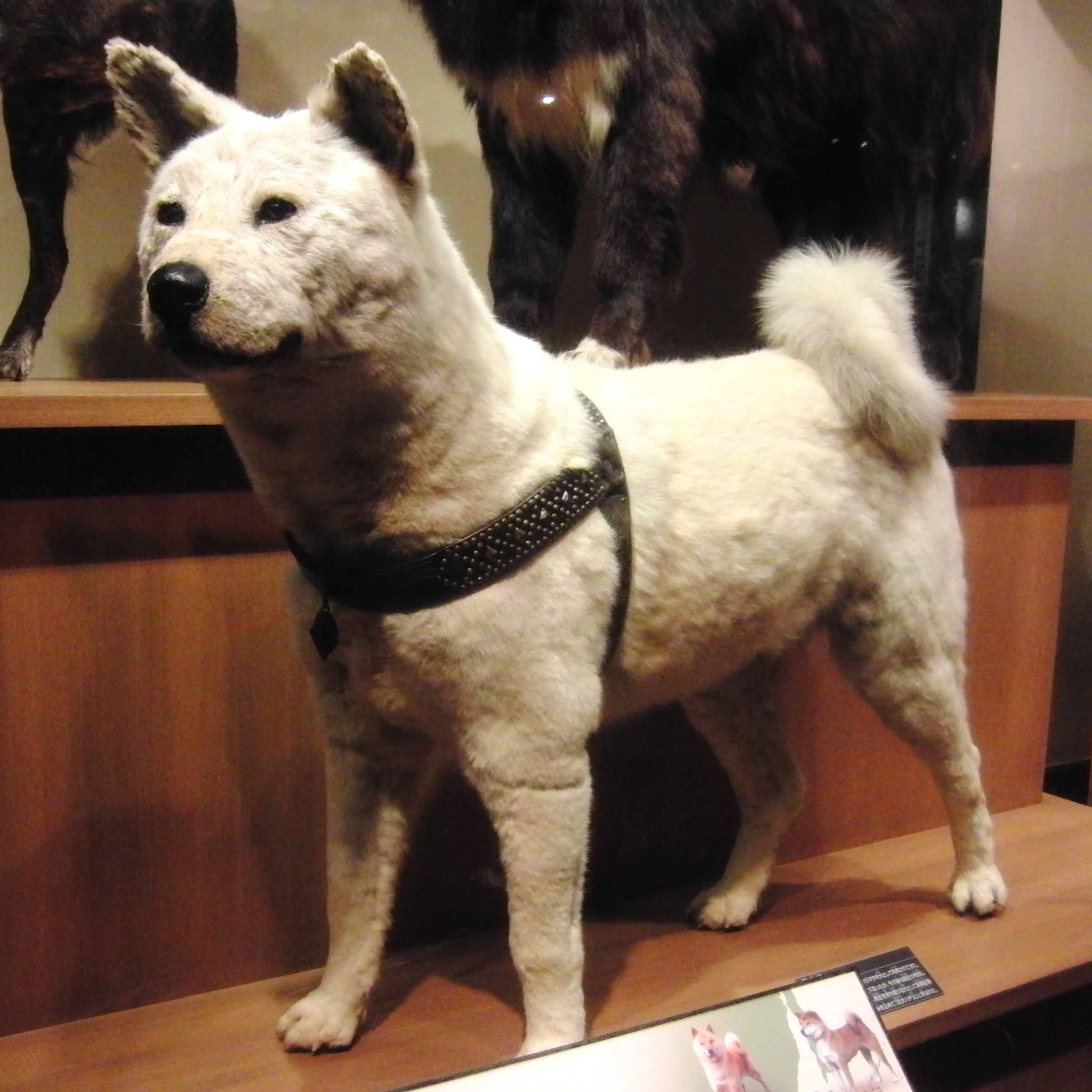 上野国立科学博物馆展出的八公标本(图片来源:Momotarou2012,wiki,CC BY-SA 3.0)