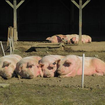 家猪示意图(图片来源:Domestic pigs ,wiki,CC BY-SA 3.0)