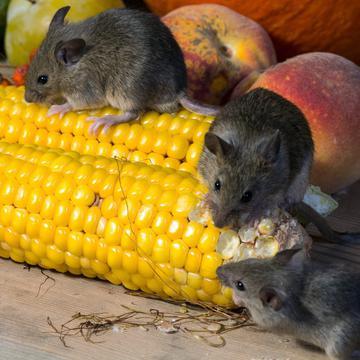 鼠疫如未经治疗其致死率为30~60%,图为示意图 (图片来源:pixabay)